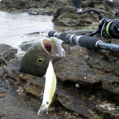 DUO Realis Jerkbait 120SP nails a Tailor at Shark bay