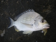 Good quality bream kept coming
