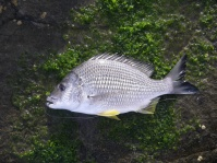Plenty of keeper bream this week