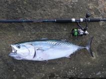 A 60 cm mac tuna - felt like a freight train