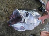 My first tuna on a soft plastic