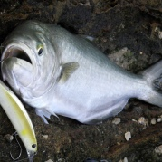 The best tailor of the week on a DUO Realis Jerkbait 120 SP