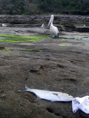 This pelican had already swallowed two of my bream