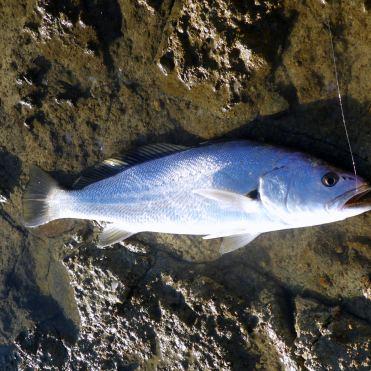 A 77cm jewfish on the new N.S Blackhole Cabin II rod