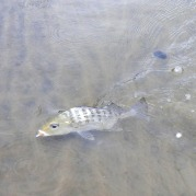 Grunter Bream are a common catch in these creeks