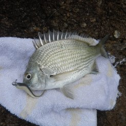 One small bream late in the day