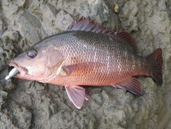 Mangrove Jack - beautiful fish and tough fighters