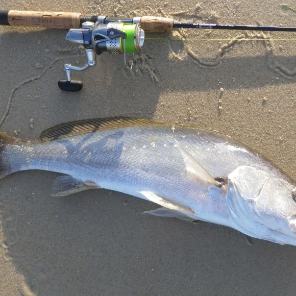 A 55cm Jewfish - not quite big enough