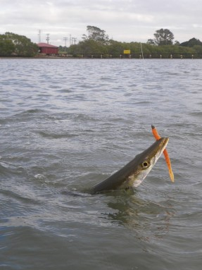 Big Pike can easily slice through a light leader