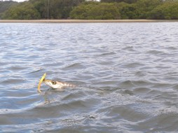 This Pike was over 45cm