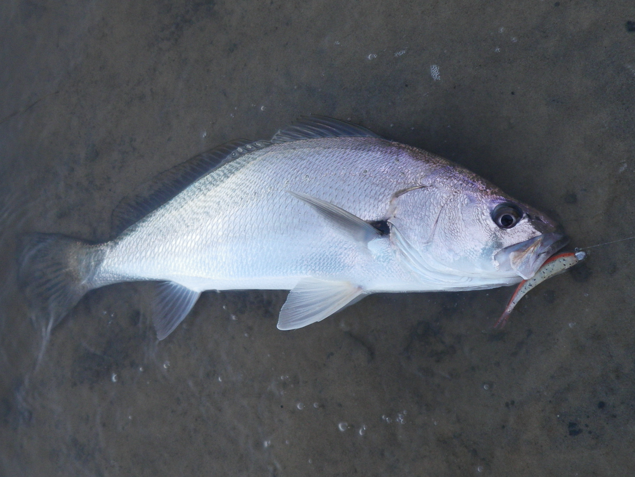 Bribie island white patch unexpected jewfish 23 for Fish to buy