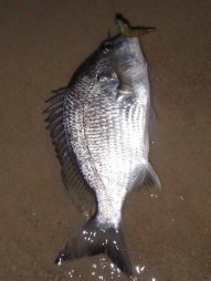 A Caloundra pre-dawn bream