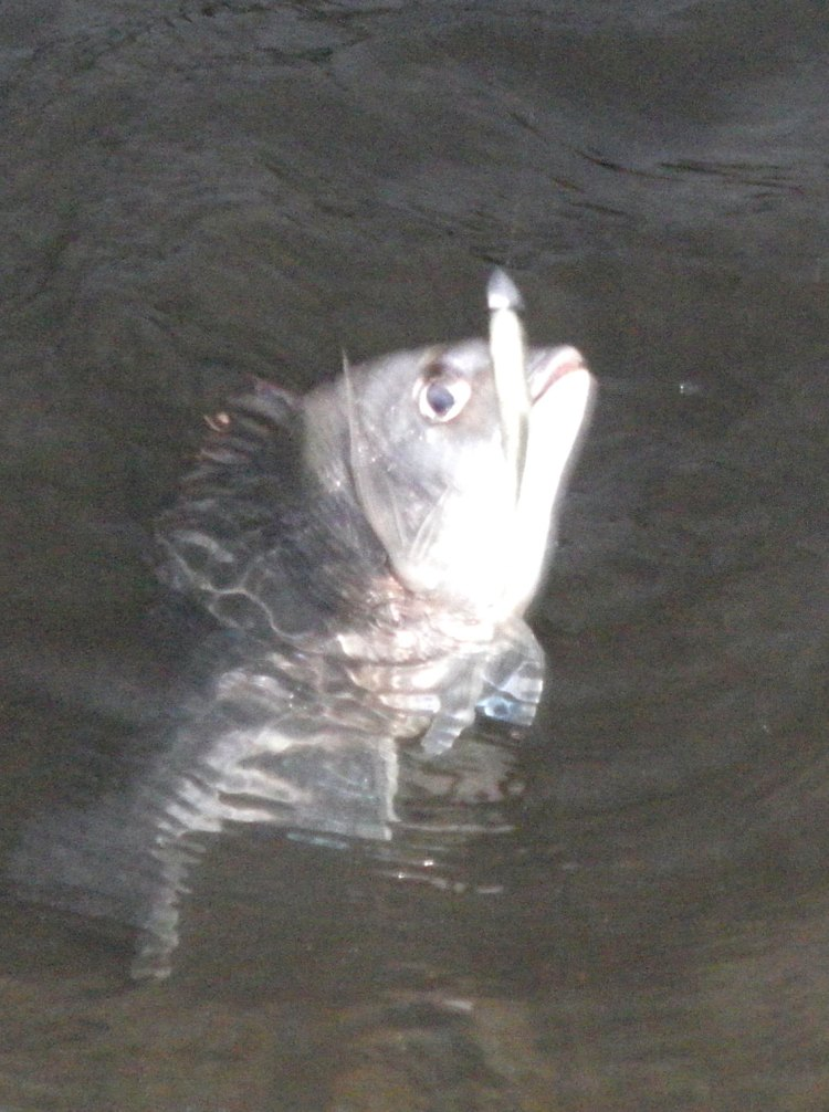 Found the first Bream at about 6.30 am