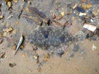 Baffle Creek flounder