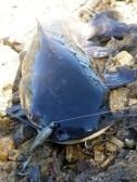 Gayndah Weir catfish