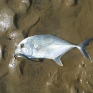Another trevally