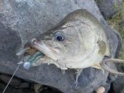 GULP 2 Inch Crabbie in Peppered Prawn
