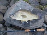Bedford Weir yellowbelly