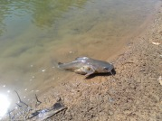 Mackenzie catfish