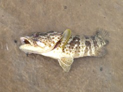 The cod were getting bigger