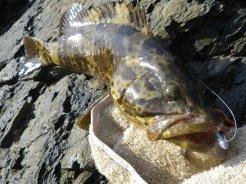 A good size estuary cod
