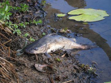Hedlow Creek catfish