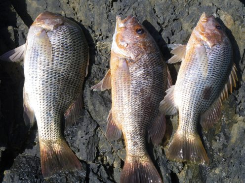 Three good fish