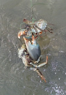 Big and small mud crabs
