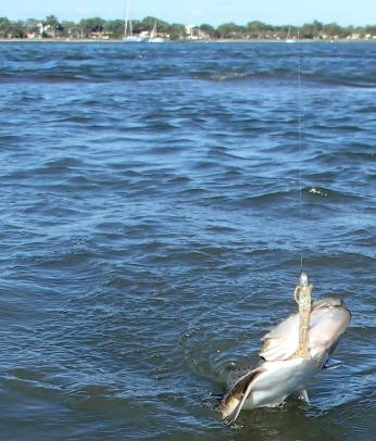 Gulp 2 inch Shrimp