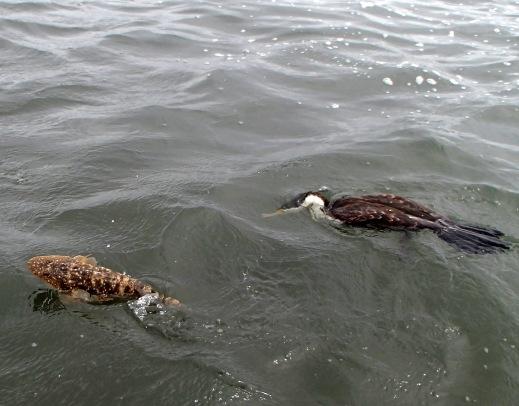 Pied Cormorant vs flathead