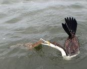 Pied Cormorant - flathead
