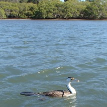 Cormorant back again