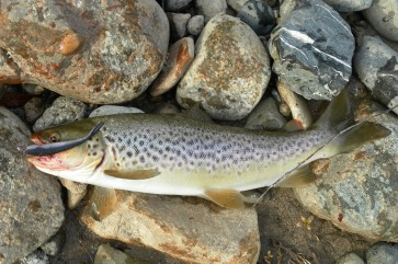 The biggest was a brown - about 30cm