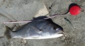Nice Iluka Jewfish - 55cm