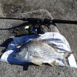 A great bream from the rocks