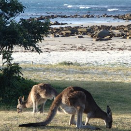 Roos on the beach at Woody Head