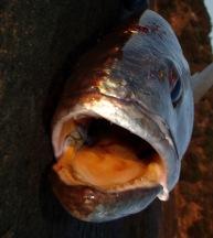 Jewfish - eating machines