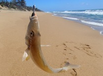 Chubby Flat Rock whiting