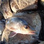 Tough fighting fish