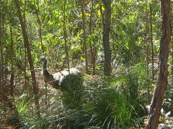 Came across a few sets of emus in Deepwater National Park