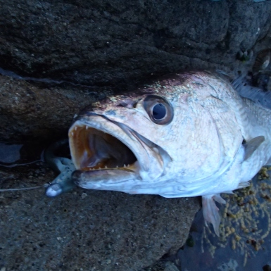 Jewfish-mulloway