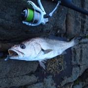 Woody Head Jewfish