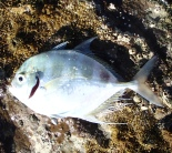 Trevally - fishing at 1770