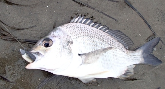 Clarence River Bream