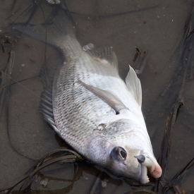 Bream - Clarence River