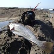 Jewfish Mulloway - Woody Head