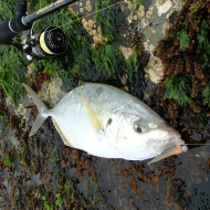 Golden Trevally
