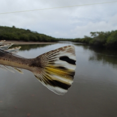 Bar-tailed flathead