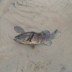 1770 fishing Estuary Cod