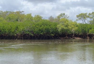 Mangroves Toms Creek